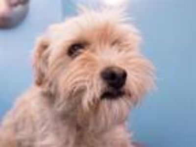 Adopt Cher a Havanese, Mixed Breed