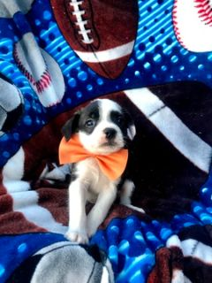 Boston Terrier-Bossi-Poo Mix PUPPY FOR SALE ADN-87433 - Take Home Alix TODAY
