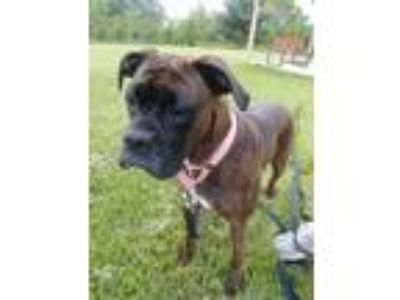 Adopt Patsy a Brindle Boxer / Mixed dog in Seville, OH (25322590)