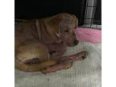 Adopt trixie a Brown/Chocolate Retriever (Unknown Type) dog in League City