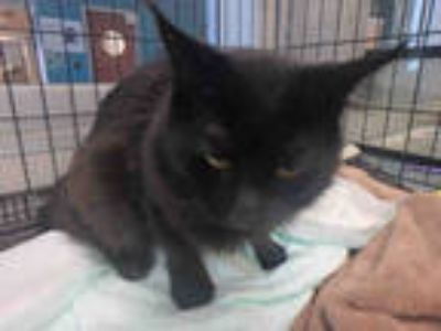 Adopt PANTHER a All Black Domestic Mediumhair / Mixed (medium coat) cat in