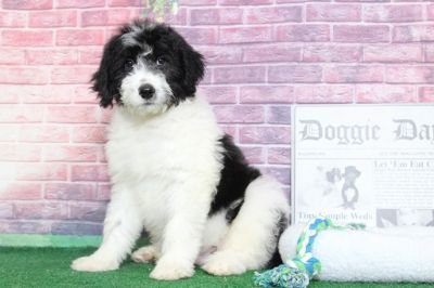 Aussiedoodle PUPPY FOR SALE ADN-95846 - Carson Charming Male Aussiedoodle Puppy