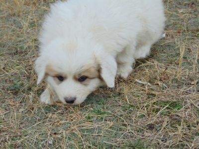 Great Pyrenees PUPPY FOR SALE ADN-70365 - Poultry trained Great Pyrenees