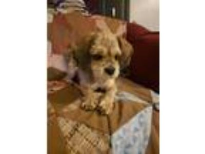 Adopt Zoey a Shih Tzu, Poodle