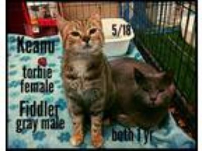 Adopt Keanu and Fiddler a American Shorthair