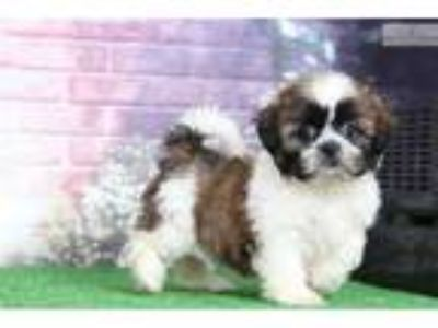 Whiskey - Male Shih Tzu
