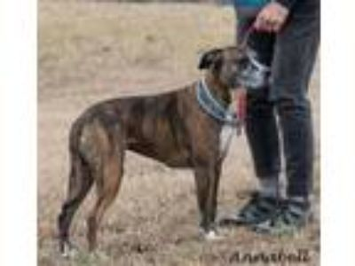 Adopt Annabell in Gloucester VA a Brindle - with White Boxer / Mixed dog in