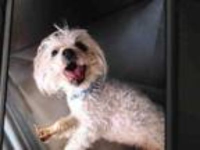 Adopt RESCUE ONLY a Poodle, Mixed Breed