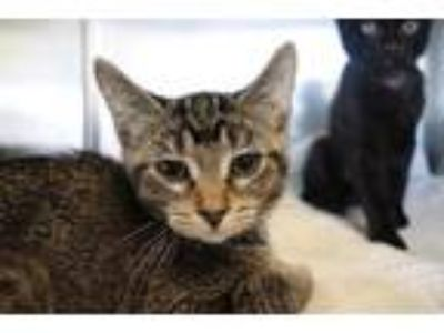 Adopt *ANDY a Brown Tabby Domestic Shorthair / Mixed (short coat) cat in