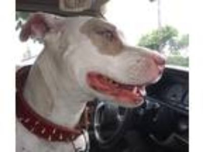 Adopt Dakota a White - with Brown or Chocolate Bull Terrier dog in Long Beach