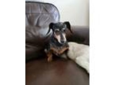 Adopt Lily and Rusty a Black - with Tan, Yellow or Fawn Dachshund / Dachshund /