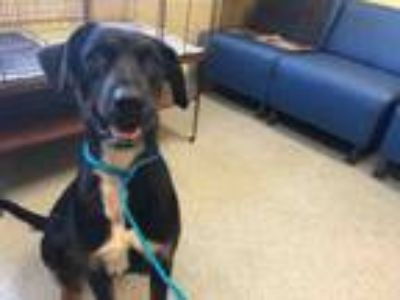 Adopt STELLA a Pointer, Doberman Pinscher