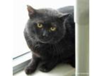 Adopt Brian a All Black Domestic Shorthair / Domestic Shorthair / Mixed cat in