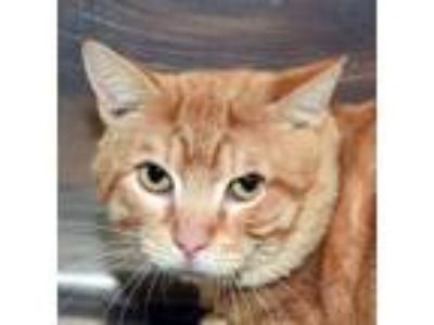Adopt #446 Dewey a Domestic Short Hair