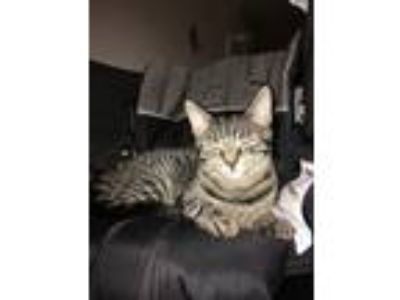 Adopt She Hulk a Gray, Blue or Silver Tabby Domestic Shorthair / Mixed cat in