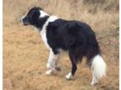 Adopt Buddy a Black - with White Collie / Border Collie / Mixed dog in La