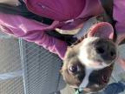 Adopt Lana a Black - with White American Pit Bull Terrier / Mixed dog in