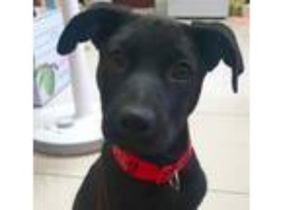 Adopt Molly a Labrador Retriever, Terrier