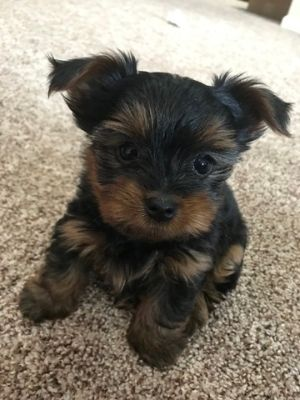 Yorkshire Terrier PUPPY FOR SALE ADN-71654 - Adorable Purebred Yorkie Puppies