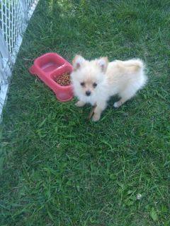 Pomeranian Yorkie puppy