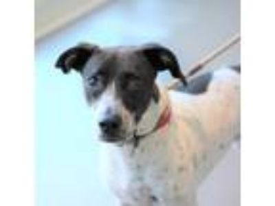 Adopt Maddie a Black Beagle / Pointer / Mixed dog in Alpharetta, GA (24705352)