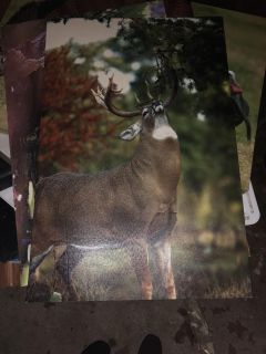 Animal canvas pictures from bass pro shop $25 a piece