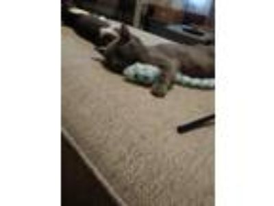 Adopt Jazzy a Gray or Blue (Mostly) American Shorthair cat in Lakeland