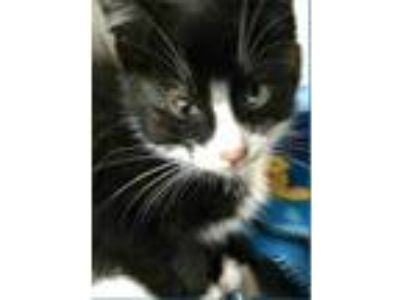 Adopt Amos a All Black Domestic Shorthair / Domestic Shorthair / Mixed cat in