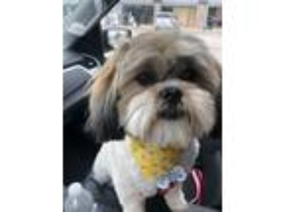Adopt Ruby a White - with Tan, Yellow or Fawn Shih Tzu / Bichon Frise dog in