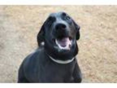 Adopt Thor a Black Great Dane / German Shepherd Dog / Mixed dog in Newton