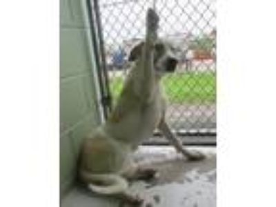 Adopt Lisa a White - with Tan, Yellow or Fawn Anatolian Shepherd / Mixed dog in