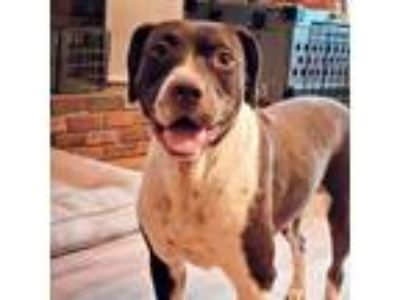 Adopt Lexi a Brown/Chocolate - with White Border Collie / Labrador Retriever /