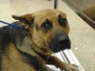 Adopt SWEETUMS a German Shepherd Dog, Mixed Breed