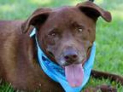 Adopt Bow Wow a Brown/Chocolate Labrador Retriever / Mixed dog in Boulder