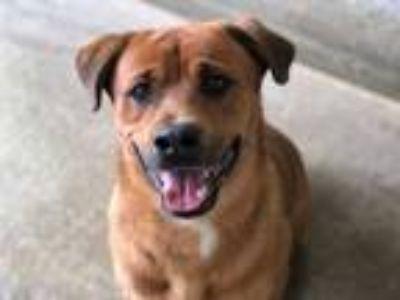 Adopt Bentley a Rottweiler, German Shepherd Dog