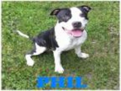 Adopt PHIL a Pit Bull Terrier, Mixed Breed