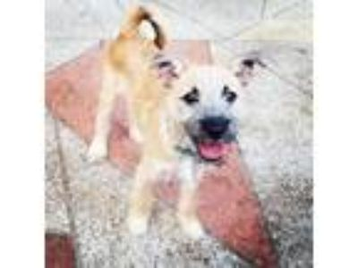 Adopt Chico a Tan/Yellow/Fawn Jack Russell Terrier / Schnauzer (Miniature) dog