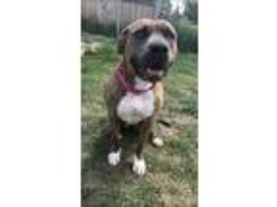 Adopt Tequila a Pit Bull Terrier