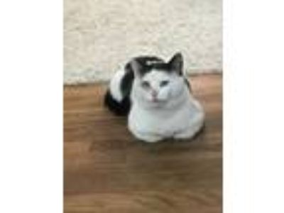 Adopt Owl a Black & White or Tuxedo Domestic Shorthair / Mixed cat in