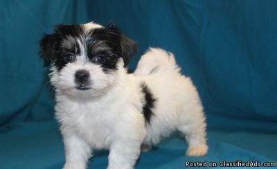 DTRYRST HAVANESE PUPPIES AVAILABLE FOR SALE Text: (4O4) 692 XX 3714