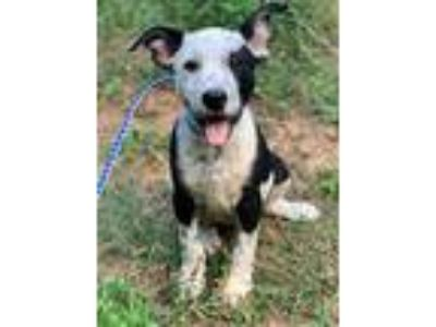 Adopt Davis a White - with Black Australian Cattle Dog / Anatolian Shepherd /