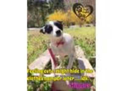 Adopt Wiggles a White - with Black Rat Terrier / Mixed dog in Allentown