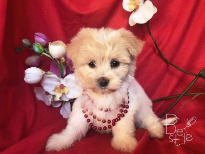 BEAUTIFUL MALTESE MIXED WITH POODLE!!!