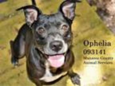 Adopt OPHELIA a Pit Bull Terrier, Mixed Breed