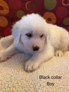 Great Pyrenees PUPPY FOR SALE ADN-113004 - AKC Registered Great Pyrenees puppies