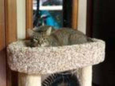 Adopt Snowflake 3 a Tan or Fawn Tabby Domestic Shorthair (short coat) cat in