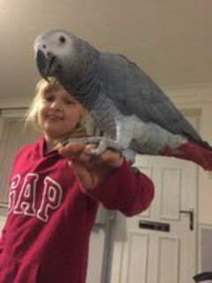 African grey parrot looking for a new home