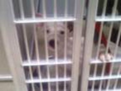 Adopt Phoenix a White American Pit Bull Terrier / Mixed dog in Fort Worth