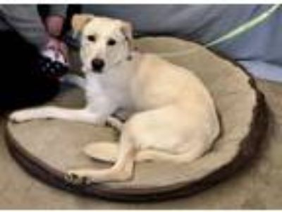 Adopt Dakota a Labrador Retriever, Golden Retriever