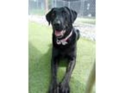 Adopt Midnight #2 a Black Labrador Retriever / Mixed dog in Purcellville